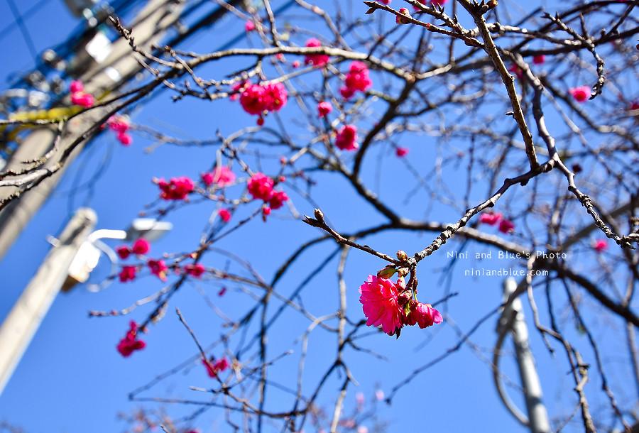 芬園花卉休憩園區-櫻花園區201815