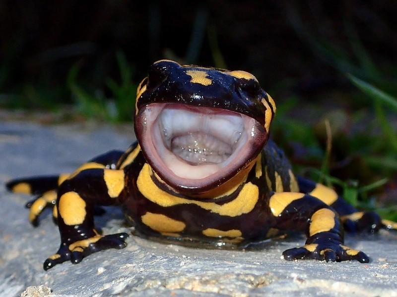 El bostezo de la salamandra 39631540254_c10c2c0e70_c