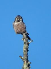 Northern Hawk Owl, Sax-Zim Bog, 1/8/2018