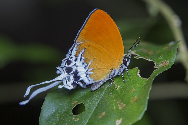 _Z2A3843 branded imperial butterfly