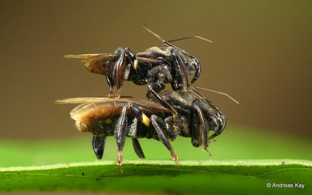 Biplane bee-mimic assassin bugs, Reduviidae