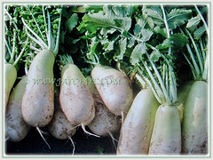 Cylindrical shape Raphanus sativus (Chinese/Japanese White Radish, Oriental/Cultivated Radish, Giant White Radish, Daikon, Lobak Putih in Malay), 25 Jan 2018