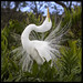 Great Egret Courtship Display by Lee_Marcus