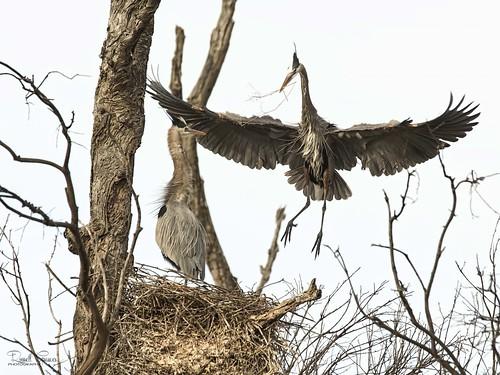 _J3A0036 7D Mark ll Tamron 150-600mm G2 Great Blue Heron Male & Female