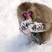 Snow Monkey Park Japan 2018, snow monkey foraging in the snow WM