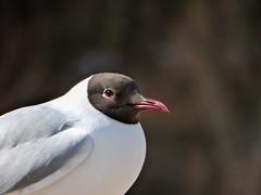 Black-headed gull portrait