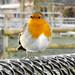Robin at Chester Zoo