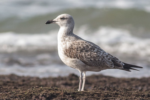 Unknown Gull 5004