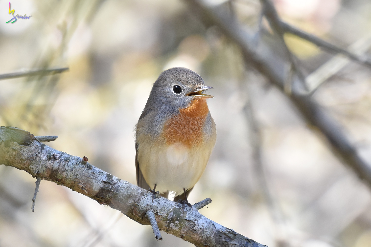 Red-breasted_Flycatcher_6472