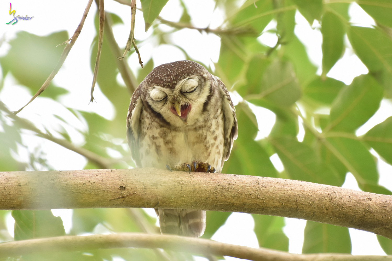 Spotted_Owlet_2395
