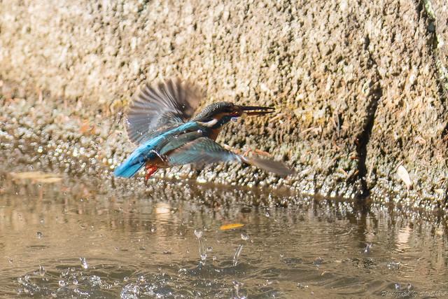 20180114-kingfisher-DSC_4641