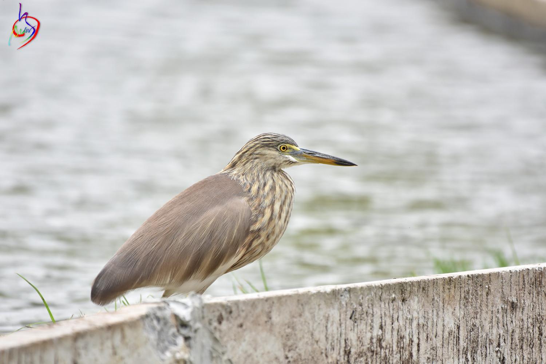 Pond_Heron_4174