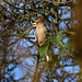 Hawfinch --- Coccothraustes coccothraustes