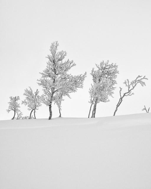 Mountain birches