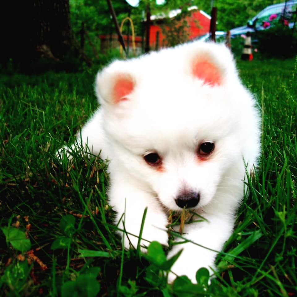 A44 Toy American Eskimo Puppies Pansy Bilal Flickr