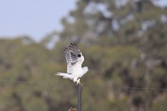 Black- shouldered Kite