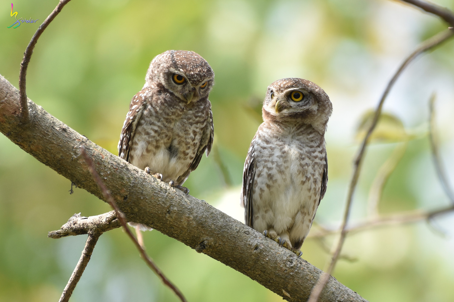 Spotted_Owlet_4525