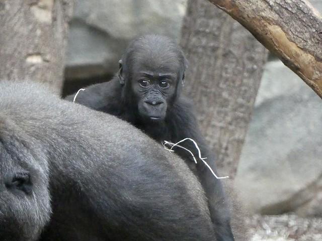 Gorilla Xetsa, Zoo Frankfurt