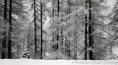 Heavy snow on the forest :copyright: Bernard Grua