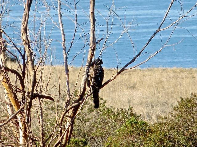 red-shouldered hawk in bluffs park