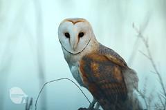 Barn_Owl_Andalusia-Birding