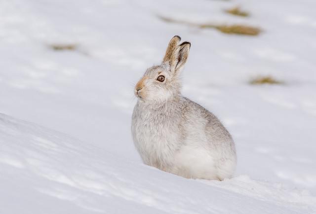 JWL5868 Mountain Hare...