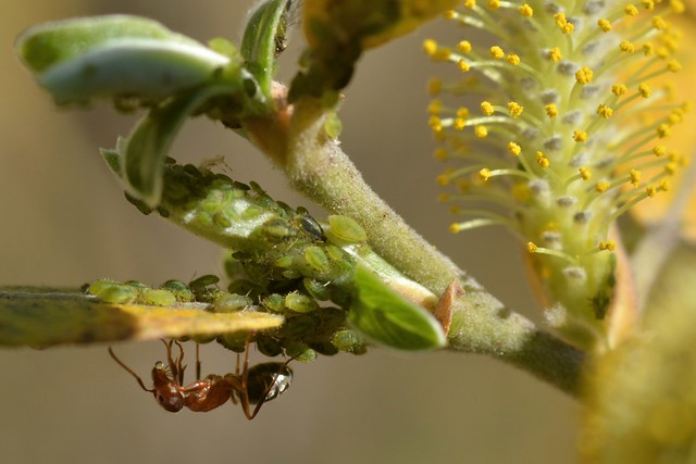 Ant tending aphids on a willow leaf