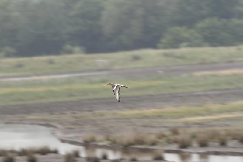 WE-JC-Project Godwit headstarted bird WWT Steart