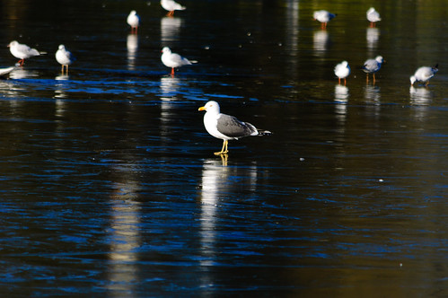 Don't get cold feet (lesser black-backed gull, West Park)