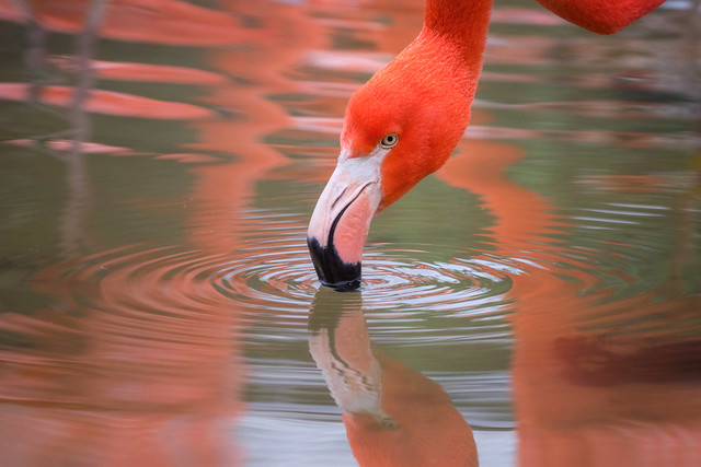 Reflection of a flamingo
