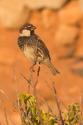 House Sparrow - Moroccan race