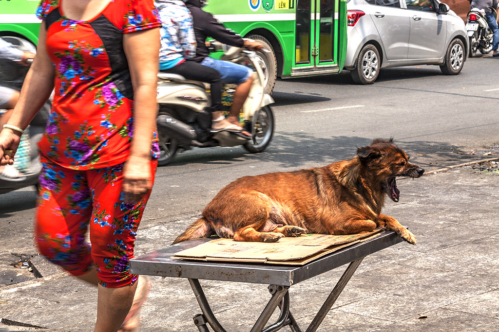 Yawning dog on table--Saigon