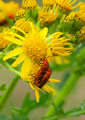 Soldier beetles: Summer 2017