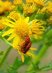 Soldier beetles: Summer 2017