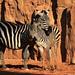 Cebras en la Sabana africana de BIOPARC Valencia