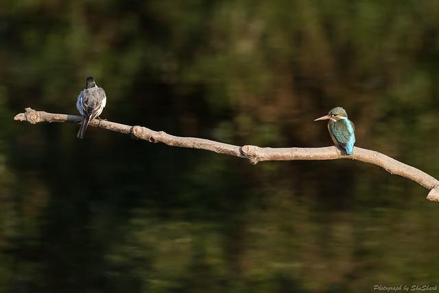 20180120-kingfisher-DSC_4913