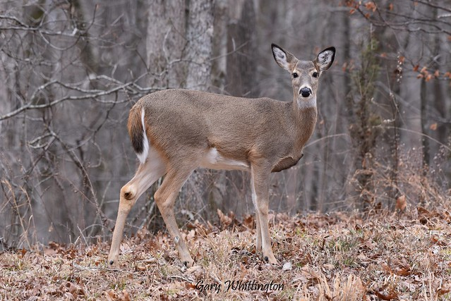 Deer-Whitetail_9443E