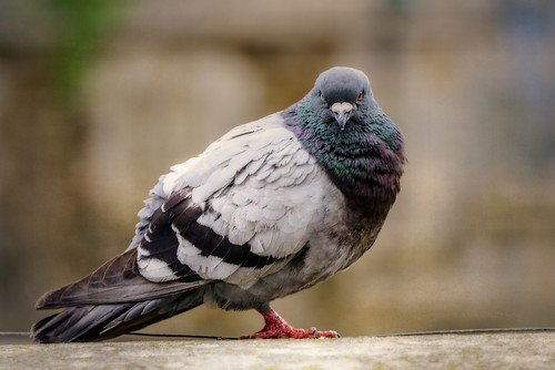 Pigeon, Notre-Dame Cathedral, Paris, 2015