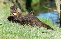 Otters - BWC