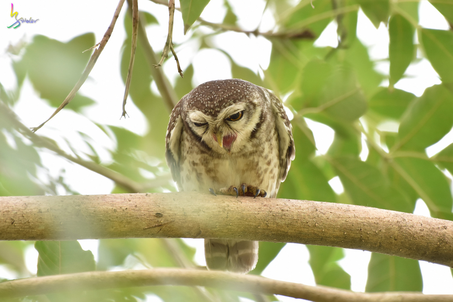 Spotted_Owlet_2396