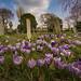 Crocus In a Graveyard, Bognor regis.