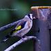 13 Goldfinch