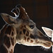 Rothchilds Giraffes