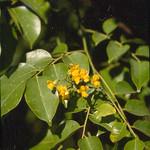 Pterocarpus indicus flowers