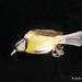 DSC07748 - Pimpelmees ( Yanistes caeruleus ) -  Eurasian Blue Tit by Arnoldus1942
