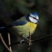 Blue Tit. Parus caeruleus. Bluebell Woods. 1/02/2017