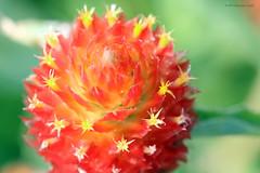 Flowers 91017 (1)