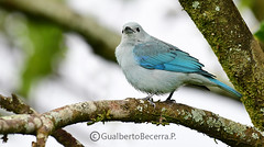 Blue -gray Tanager
