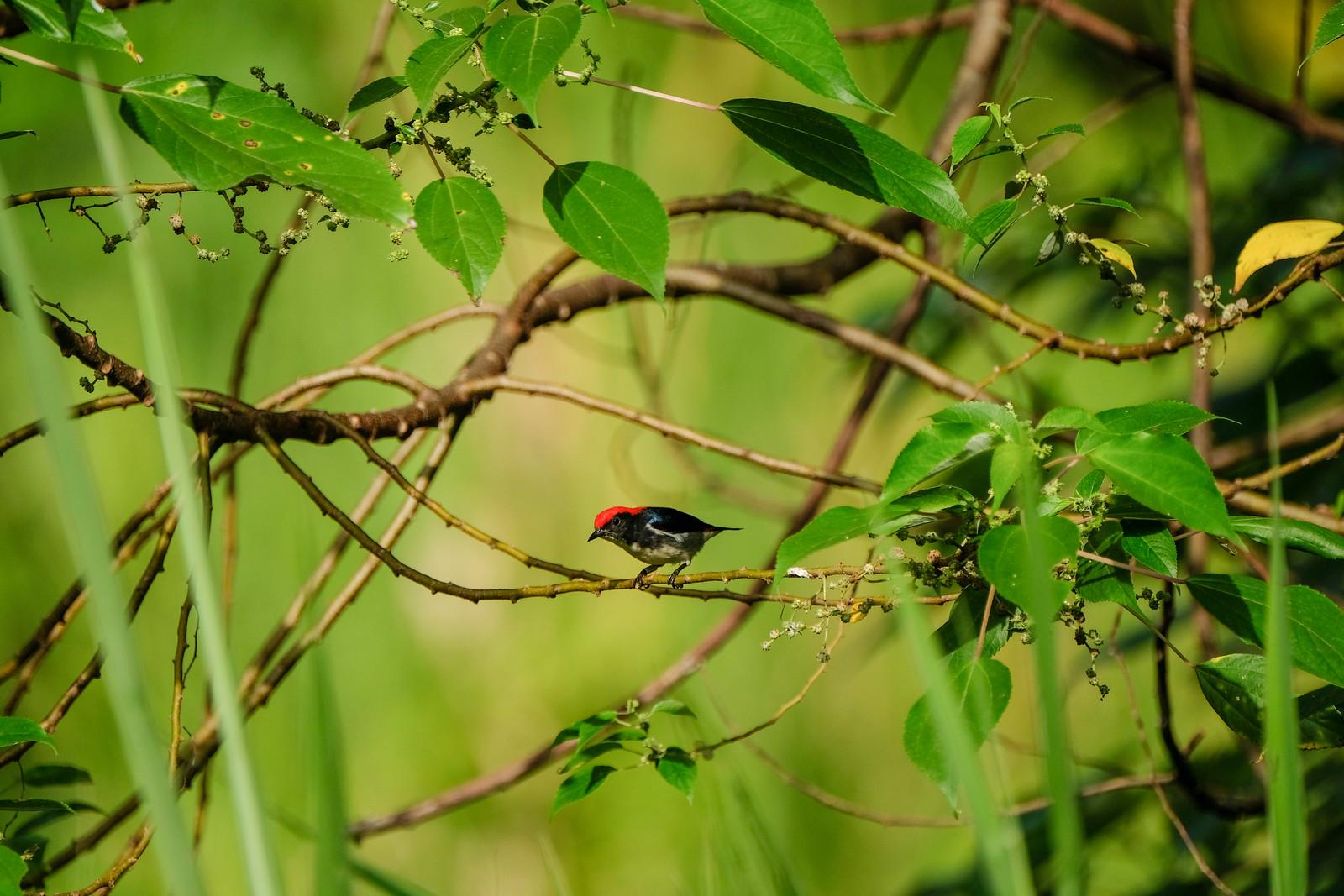 Scarlet-backed flowerpecker_DSCF5997