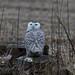 Snowy Owl by ramseybuckeye